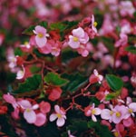 Sommarbegonia Begonia x hybrida 'Baby Wing Pink'