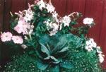 En fint färgavstämd plantering med petunia,