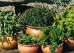 Matnyttiga växter i kruka; från vänster kryddsalvia, timjan, citronmeliss, smultron och persilja.