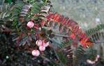 Kashmirrönn, Sorbus cashmiriana