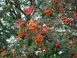 Sorbus 'Xanthocarpa'