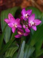 Spathoglossis-hybrid, palmorkidé