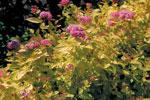 Gulbladig dvärgpraktspirea, Spiraea japonica 'Golden Princess'