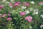 Brokspirea, Spiraea japonica 'Shirobana'