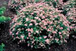 Dvärgpraktspirea, Spiraea japonica 'Little Princess'
