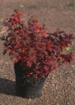 Spiraea japonica 'Manon', Dvärgpraktspirea
