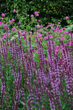 Stäppsalvia finns även i rosa och vitt. Den nyare rosa sorten 'Amethyst' är högvuxen och ståtlig, blir 60-70 cm.