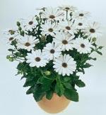 Flower Power White