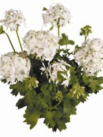 Graffiti® White - en av årets nyheter. En kraftig och fin växt med vackra helvita blommor.