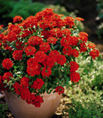 Superbena 'Bushy Crimson'