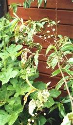 Svamp för tanken till höstliga skogspromenader med korg på armen, men i trädgården handlar det om fläckar, rötor och mögel.