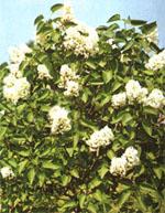 Lämpliga växter för en friväxande häck är bland annat; Häggmispel, Häckberberis, Korallkornell, Mahonia, Vresros och Syren.