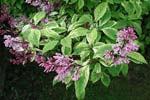 Syringa sp. med brokiga blad