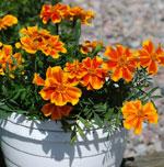 Stor hybridtagetes, Tagetes hybrida F1 'Sunburst Orange Splash'