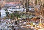Katten Assar på väg ned efter att motorsågens oljud tystnat - körsbärsstammen är rensad.