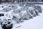 Rosorna i Rosariet sover törnrosasömn under granrisskydd. Den på Västkusten sällsynta snön lyste också upp landskapet under helgen.