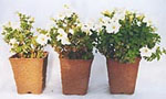 Petunia med tre skötselalternativ