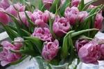 Tulipa 'Lilac Perfection'