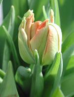 Tulipa 'Salmon-Parrot'