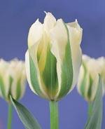 Tulpan 'Spring Green'