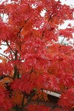 Prydnadsrönn 'Dodong' får lysande röd höstfärg även i landets sydligare delar. Praktfulla blanka blad och stora tegelröda bär gör en till ett stiligt blickfång under lång tid.