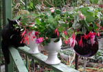 Blommande fuchsior
