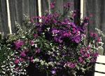 Hängverbena och violverbena, mörkt lilablå petunia, brokbladig rabatteternell, vit och mörkblå kant- och hänglobelia, cymbalblomma