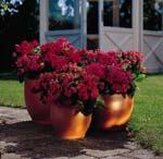 Plantera kalanchoë i flera krukor i olika storlekar och ställ bredvid varandra. Här har det planterats kalanchoë i likadana färger vilket ger ett stilrent intryck.