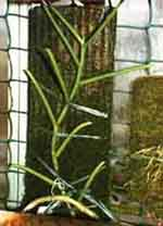 Det finns två grundläggande grupper av orkidéer