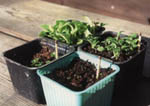 Petunior i olika storlekar som växt inne under konstljus.