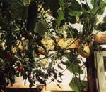 Pumpor, tomater, gurkor och meloner som hänger i taket på växthuset.