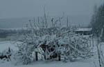 Vinbärsbuske i snöväder
