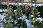 En liten vintergrön plantering med en buxbomshäck som bakgrund. Ormhasselgrenar i förgrunden.