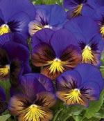 Pensé, Viola x wittrockiana 'Karma Blue Butterfly'