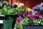 Plantera de första vårpenséerna.