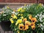 Gillar man lite eldigare färger, kan man använda vita, gula och orange penséer ihop med gemsrot (Doronicum orientale) och vita bellis och förgätmigej. Den höga växten i mitten som inte blommar ännu är en gulblommig gyllenlack. Planteringen blir vårfräsch men ändå färgglad.