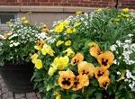 Om man har plats, kan flera kärl med samma blommor vara mycket effektfulla. På bilden ses penséer, förgätmigej, vårkrage, tusensköna och i mitten en gyllenlack, som ännu inte blommar.