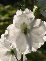 Sensommarbelöning i form av underskön vit riddarsporre.