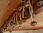 Vitlöksskörden upphängd i kökstaket