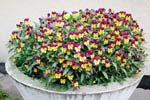 Viola tricolor 'Helen Mount'