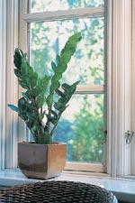 Zamiakalla, Zamioculcas zamiifolia
