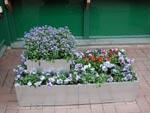 I blanka zinklådor har man gjort en modern plantering med blåa förgätmigej, ljusblåa penséer och röda bellis.