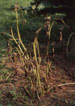 Angripna växtdelar måste tas bort och förstöras!