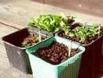 När plantorna är fyra veckor omplanteras de.