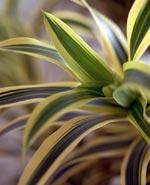 Dracena/Dracaena deremensis/Dracaena fragrans/Drac (Dracaena)