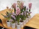 Vita espressokoppar fyllda med olika lökblommor. På bilden ser vi hyacint, scilla (Scilla peruviana), pärlhyacint (Muscari latifolium), krokus (Crocus 'Pickwick') och kungsängslilja ('Fritillaria meleagris).
