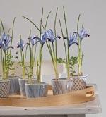 Finservisen matchar irisen (Iris reticulata) perfekt med sin blå/vita glasyr.