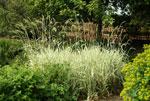 Randgräs