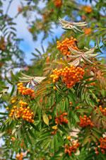 Gulfruktig vanlig rönn, Sorbus aucuparia 'Xanthocarpa'