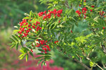 Japansk rönn, Sorbus commixta